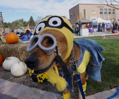 "One of the dogs, Kai, that was dressed as a ""Despicable Me"" minion. (R. Lee)"