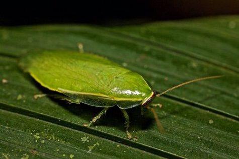 Wiggle Wonders- The Cuban Cockroach